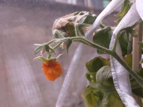tomato8_2013-08-20.jpg