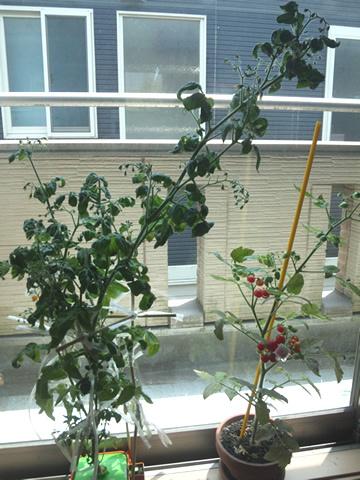 tomato9_2013-08-04.jpg